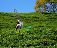 Nuwara Eliya, land of tea